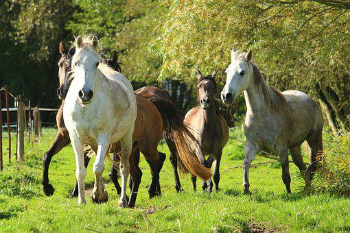Horse, Flock, Mold, Pasture, Thoroughbred Arabian