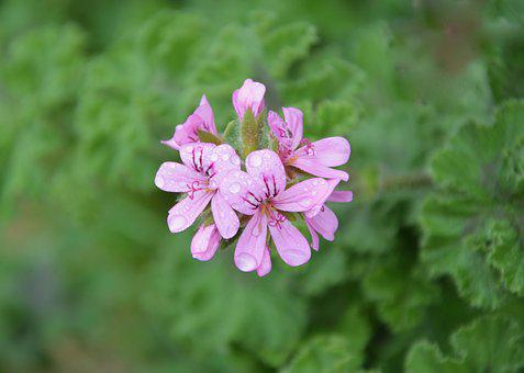 Pink Flower, Flower Geranium, Rose Geranium