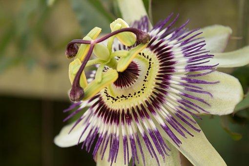 Passionflower, Stamens, Petals, Flower, Flowering