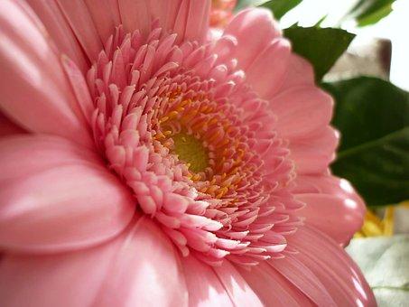 Flower, Gerbera, The Delicacy, Closeup, Gerberas