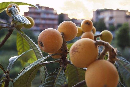 Loquats, Fruits, Nature