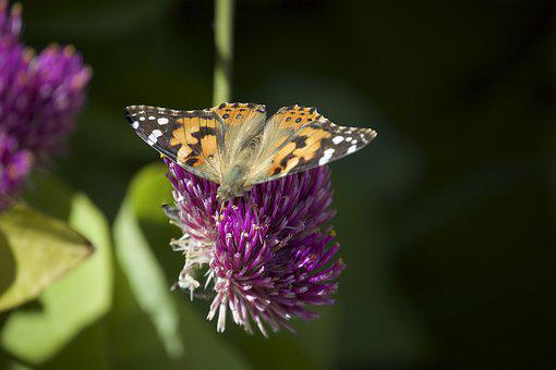 Painted Lady, Migration, Butterfly, Garden, Fall