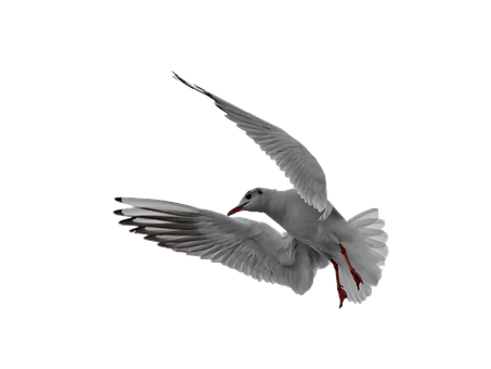 Seagull, Flight, Isolated, In Flight, Bird, Fly, Animal