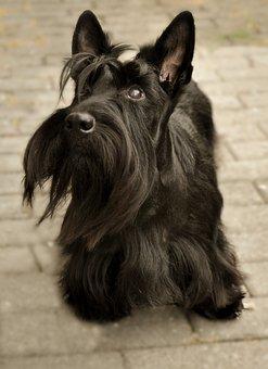 Scottish Terrier, Dog, Attention, Knuffig, Wuschelig
