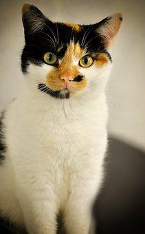 Mieze, Tricolor, Lucky Cat, Domestic Cat