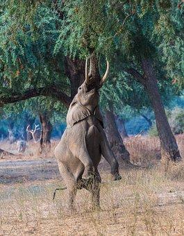Elephant, Manapools, Ele, Elephant Standing, Hind Legs