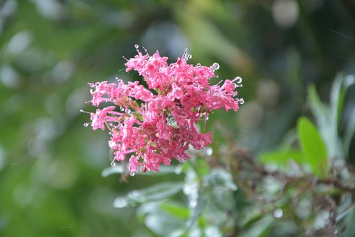 Pink Flower, Water, Nature, Pink, Flower, Pink Flowers