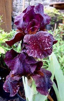 Flower, Iris, Dew, Purple, Blooming