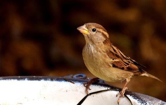 Sparrow, Small Bird, Cute, Birdie, Plumage, Nature