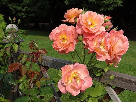 Rose, Flower, Tea, Rosarium, Rose Flower, Rose Garden