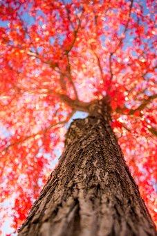 Tree, Red, Fall, Autumn, Nature, Season, Colorful
