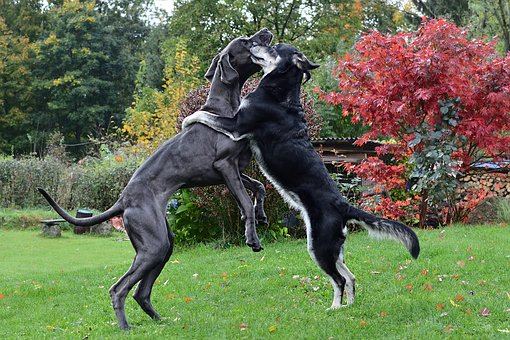 The Dog A Hug, Great Dane, Two Dogs