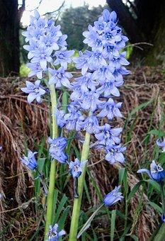 Bluebells, Blue, Flower, Wild, Spring Flower