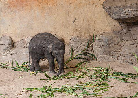 Baby Elephant, Animal, Pachyderm, Wilderness