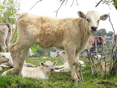 Cow, Cows, Blonde Cow, Veal, Animal, Cow Animal, Calf