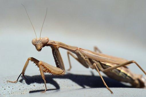 Praying Mantis, Insect, Nature, Macro, Close, Animal