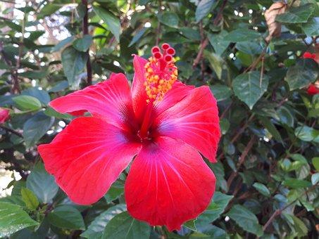 Hibiscus, Blossom, Bloom, Bush, Red, Plant