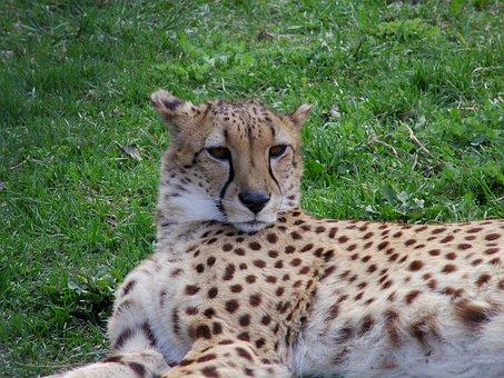 Cheetah, Chita, Big Cat