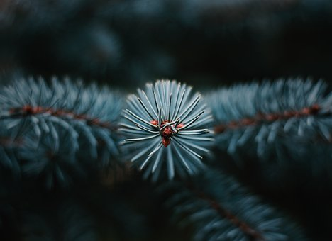 Tree, Conifer, Needles, Nature, Forest, Christmas Tree