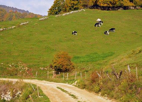 Road, Mountain, Excursion, Cow, Herd, Prato, Bovino