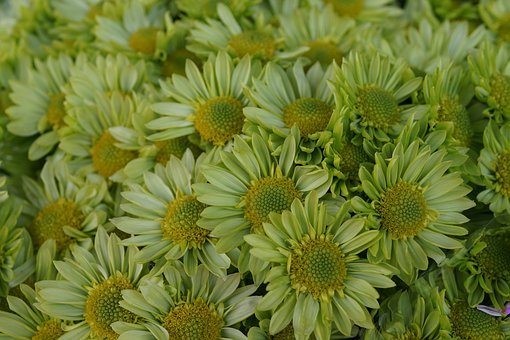 Budding, Daisy, Green, Yellow, Flower, Garden, Blooming