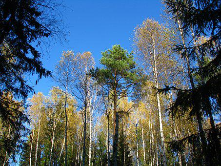 Blue Sky, Forest, Birch, Christmas Tree, Pine