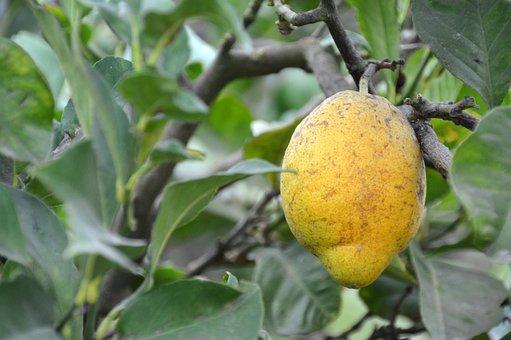 Lemon, Tree, Citrus Fruits, Fruit, Lemon Tree, Citrus