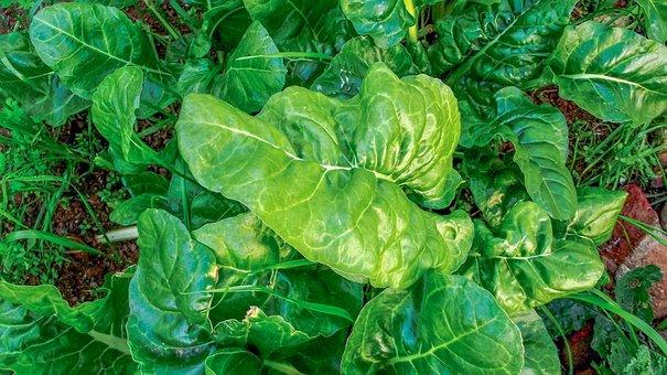 Spinach, Vegetables, Garden, Healthy, Food, Diet, Green