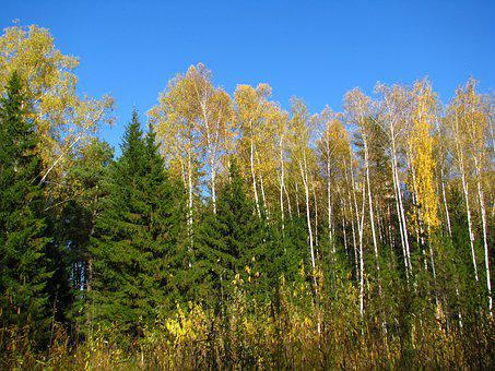 Blue Sky, Forest, Birch, Christmas Tree, Golden Autumn