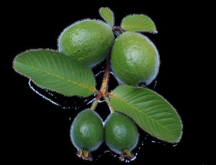 Guava, Leaf, Jambu Biji, Green, Guava Png