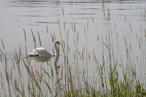 Swan, Nature, Lake, Mainau, Water Bird, Water, Swans