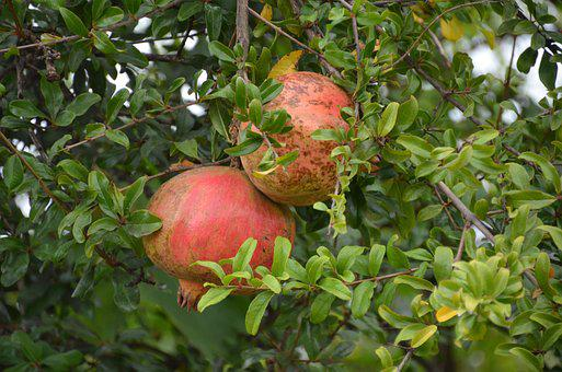 Pomegranate, Tree, Nature, Red, Fruit, Healthy