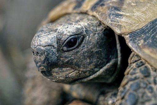 Turtle, Reptile, Terrestre, Nature, Animal, Fauna