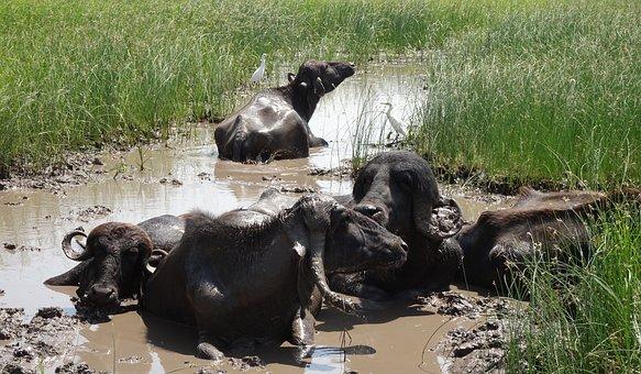 Buffalo, Bovine, Cattle, Water Buffalo, Swamp, Marsh