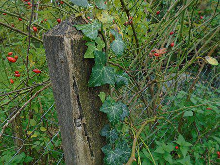 Fence, Wood, Wooden, Wire Fence, Amber, Rosehips
