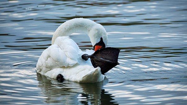 Swan, White, Swim, Water, Animal, Lake, Water Bird