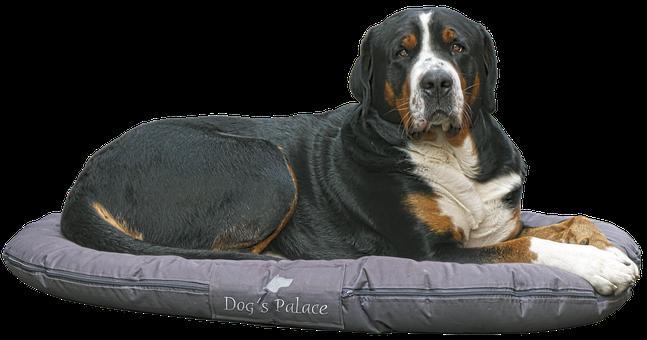 Dog, Bernese Mountain Dog, View, Herding Dog