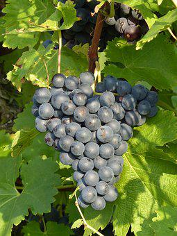Grapes, Blue, Grapevine, Autumn, Harvest, Blue Grapes
