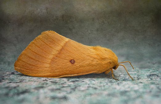 Bombyx Of The Oak, Lasiocampa Quercus, Moth