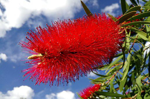 Callistemon, Tree, Bottlebrush Flower, Red, Springtime