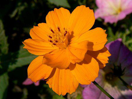 Budapest, Cosmos, Margaret Island, Mexican Autumn Rose