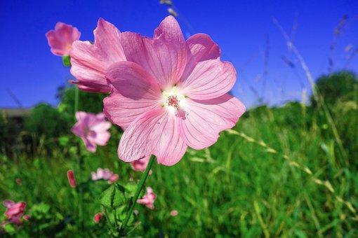 Plant, Flower, Wild Flower, Geranium, Cranesbill