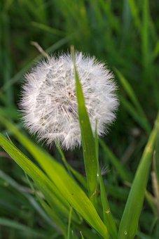 Grass, Dandelion, Nature, Forest, Greens, Plant