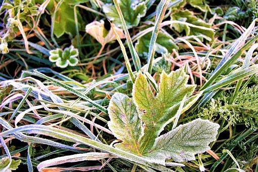 Frost, Morning, Frozen Leaf, Autumn, Hard Rime