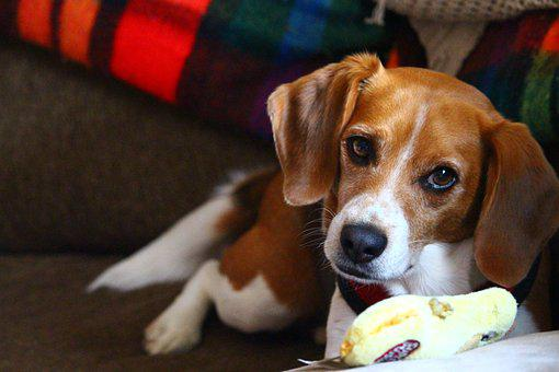 Beagle, Chew Toy, Toy, Laying, Playing, Cute, Canine