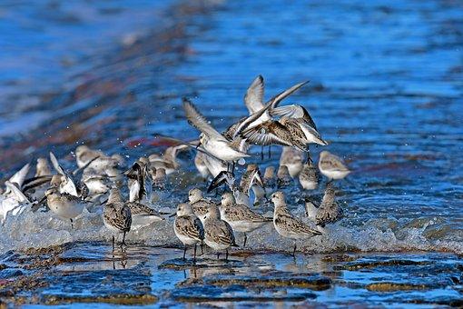 Sanderlings, North Sea, Limicoline, Water Bird