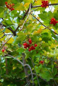 Viburnum, Leaves, Bush, Tree, Berry, Plant, Nature