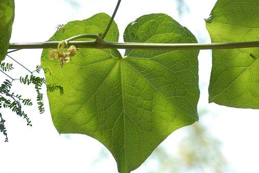 Leaf Of Chayote, Vegetable, Nature