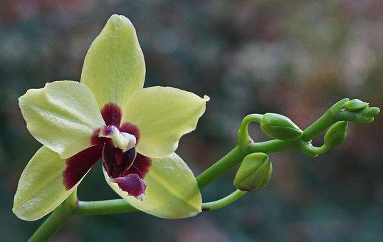 Phalaenopsis Orchid, Hybrid, Orchid, Tropical, Plant