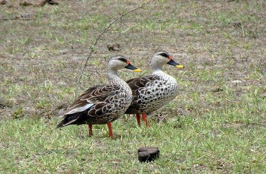 Duck, Bird, Waterfowl, Wildlife, Spot-billed Duck, Pair